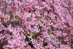 Gråta fördärvar körsbärsröda blomningar på den Funaoka slotten parkerar, Shibata, Miyagi, Tohoku, Japan i vår Royaltyfria Bilder