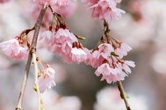 Gråta fördärvar körsbärsröda blomningar på den Funaoka slotten parkerar, Shibata, Miyagi, Tohoku, Japan i vår Royaltyfria Foton