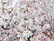 Gråta körsbärsröda blomningar Royaltyfri Fotografi
