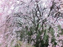 Gråta körsbärsröda blomningar Arkivbild