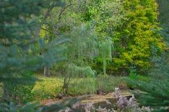 Gråta Willow Tree Arkivfoto