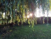 Gråta Willow Tree Fotografering för Bildbyråer