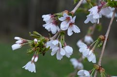 Gråta Willow Tree Blossoms royaltyfri bild