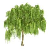 Gråta Willow Tree Isolated royaltyfri illustrationer
