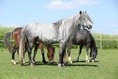 Grått anseende för welsh ponny på betesmark Royaltyfria Foton