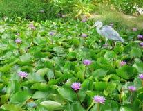 Grått cinerea vänta för häger eller för ardea som fångar fisken i ett lotusblommadamm Arkivfoto