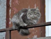 GRÅTT FLUFFIGT kattsammanträde på balkongen royaltyfria foton