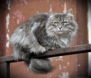 GRÅTT FLUFFIGT kattsammanträde på balkongen fotografering för bildbyråer