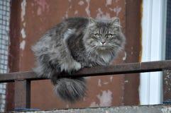 GRÅTT FLUFFIGT kattsammanträde på balkongen arkivbild