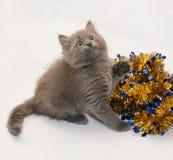 Grått fluffigt kattungesammanträde som ser upp Royaltyfria Bilder