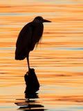 Grått hägeranseende på solnedgångsjön Royaltyfri Bild