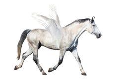 Grått hästpegasus trava som isoleras på vit Royaltyfri Fotografi