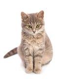 Grått kattsammanträde Royaltyfria Bilder