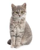Grått kattsammanträde royaltyfri fotografi