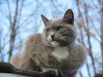 Grått kattsammanträde på taket mot bakgrunden av en vårhimmel Fotografering för Bildbyråer