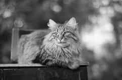 Grått kattslut upp på en gammal stol arkivbilder