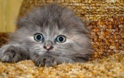 Grått kattungedjur Arkivfoton