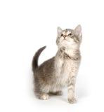 grått leka för kattunge Royaltyfri Bild