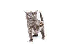 grått leka för kattunge Arkivfoto