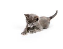 grått leka för kattunge Royaltyfri Foto