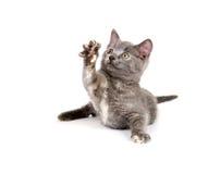 grått leka för kattunge Royaltyfria Bilder