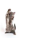 grått leka för kattunge Royaltyfria Foton