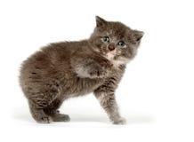 grått leka för kattunge Arkivfoton