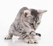 grått leka för kattunge Fotografering för Bildbyråer