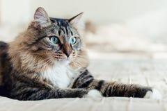 Grått ligga för katt Fotografering för Bildbyråer