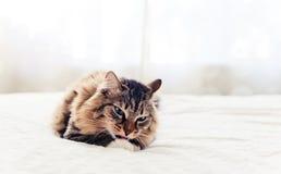 Grått ligga för katt Arkivfoto