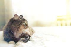 Grått ligga för katt Royaltyfria Bilder