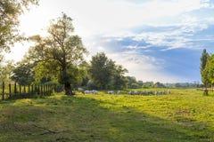 Grått nötkreatur för ungrare i fältet Arkivbild