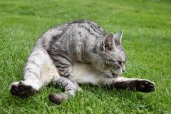 Grått sammanträde för strimmig kattkatten i gräset och att slicka som är hans, tafsar arkivfoton