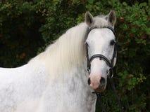 Grått skjutit hästhuvud Fotografering för Bildbyråer
