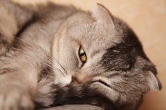 Grått sova för strimmig kattkatt Arkivbilder