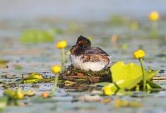 Grèbe étranglé noir masculin dans le plumage d'élevage sur le nid Image stock