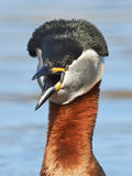 Grèbe étranglé rouge (grisegena de Podiceps) Photos stock