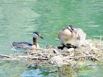 Grèbe et oeufs à col rouge 2016 de lac toronto Photo libre de droits