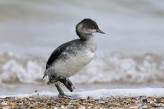 grèbe Noir-étranglé dans le plumage d'hiver image stock