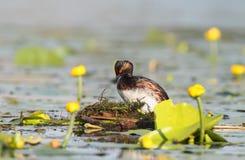 grèbe Noir-étranglé dans le plumage lumineux d'élevage sur le nid Image stock