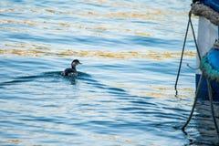 grèbe Noir-étranglé, nigricollis de Podiceps, faisant une vague d'arc photographie stock