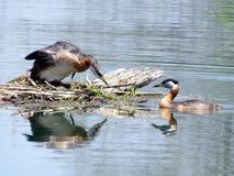 Grèbes à col rouge 2016 du lac deux toronto Photos libres de droits