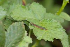 Grécia Rhodos dragounfly Fotos de Stock