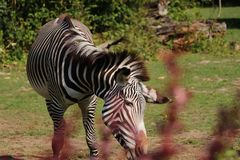 A Grévy`s zebra eating hay in the park. A beautiful animal with alternating black and white. Hot days in summer stock images