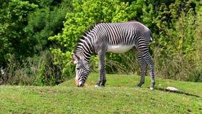 Grévy's zebra (lat. Equus grevyi) stock video footage