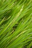 Grões 2 do arroz Fotografia de Stock
