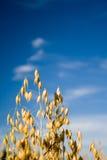 Grões de aveia Fotografia de Stock