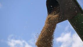 Grões descarregadas do milho da ceifeira de liga no caminhão filme