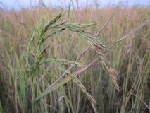 Grões do arroz Imagem de Stock