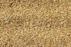 Grões do arroz Foto de Stock Royalty Free